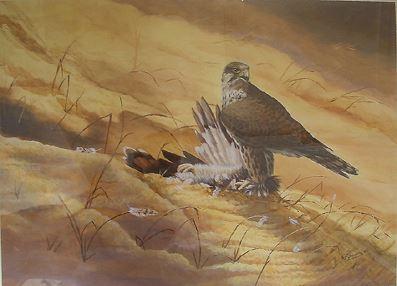 Saker Falcon on Houbara